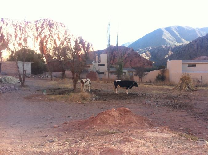 Purmamarca Cows