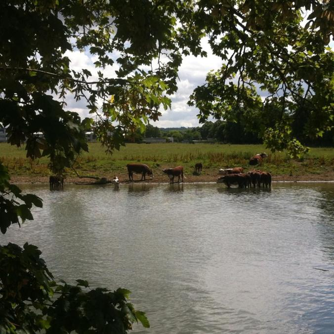 Cows in the Thames